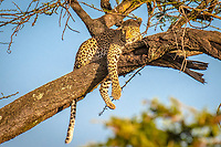 African leopard, Panthera pardus pardus, resting on a tree, Maasai Mara National Reserve, Kenya, Africa