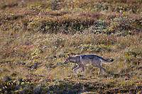 A wolf from the Grant creek pack travels the autumn tundra in Highway pass, Denali National Park, Interior, Alaska