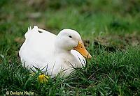 DG13-007x  Pekin Duck - female incubating eggs