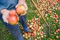 Europe/France/Normandie/Basse-Normandie/14/Calvados/Pays d'Auge/Saint-Aubin: recolte manuelle des pommes à cidre