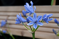 Agapanthus 'Blue Storm' = 'Atiblue' summer flowering bulb