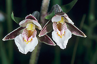 Marsh Helleborine, Epipactis palustris, blossom, Oberaegeri, Switzerland, May 1996
