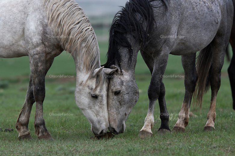 Wild stallions begin the ritual of a challenge but putting their heads together to smell a territorial marking.  The grays are part of the White Sands herd at the International Society for the Protection of Mustangs and Burros in South Dakota.