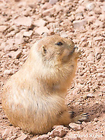 0721-1115  Black-tailed Prairie Dog Eating Seed or Root, Cynomys ludovicianus  © David Kuhn/Dwight Kuhn Photography