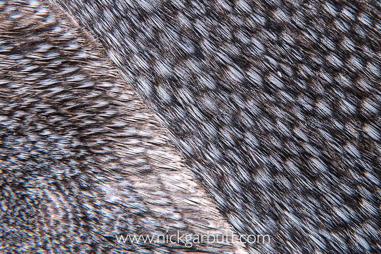 Close up study of feathers of an adult king penguin (Aptenodytes patagonicus). Salisbury Plain, South Georgia, South Atlantic.