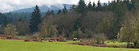 Roosevelt Elk or coastal elk (Cervus canadensis roosevelti) at Jewell Meadows Wildlife Area operated by the Oregon Department of Fish and Wildlife as a feeding area for upto 200 elk in winter.  Jewell Meadows is about 50 miles west of Portland, Oregon.