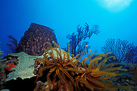 feather star or crinoid, hard coral, sea fans, and barrel sponge on reef, Commonwealth of Dominica (Eastern Caribbean Sea), Atlantic