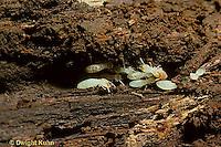 IS01-014z  Termite - workers -  Reticulitermes flavipes