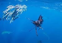 Sailfish, Istiophorus platypterus, off Isla Mujeres, Mexico, Gulf of Mexico