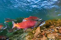 Red salmon, Oncorhynchus nerka, Kokanee, East River, Colorado