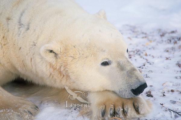 Polar Bear (Ursus maritimus)--adult male resting.