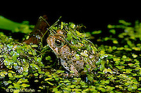 FR10-017x  American Toad - toad in duckweed pond - Anaxyrus americanus, formerly Bufo americanus