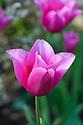 Tulip 'Lilynita' (Triumpg Group), late April.
