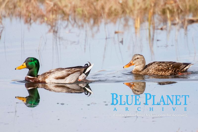 bird, Male and female Mallard Ducks swimming.(Anas platyrhynchos).Back Bay Reserve, California., USA