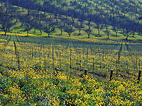A grove of walnut trees with a field of mustard in the foreground. California.