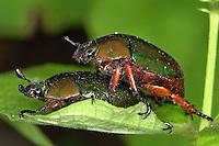 Joaninhas e besouros<br /> Fotos Carlos Borges