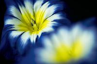 Close up of Convolvulus tricolor 'blue ensign', Oregon