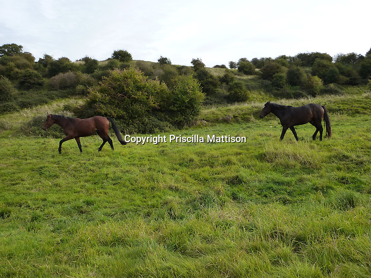 Cotswolds, England - September 20, 2009: One horse follows another across a field.