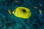 Eclipse butterflyfish, Chaetodon bennetti
