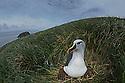 A grey-headed albatross sitting on a nest in the tussock grass at Diego Ramirez Island.
