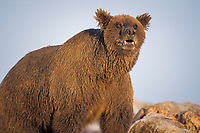 grizzly bear, Ursus horribilis, brown bear, Ursus arctos, mother feeding on a bowhead whale, Balaena mysticetus, carcass in the Arctic National Wildlife Refuge, 1002 coastal plain, Alaska