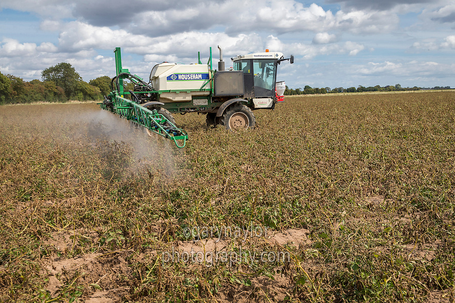 Spraying Maris Piper potates with a second application of Reglone - Lincolnshire, August