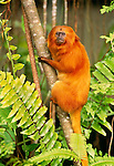 Golden lion tamarin, indigenous to coastal Brazil.