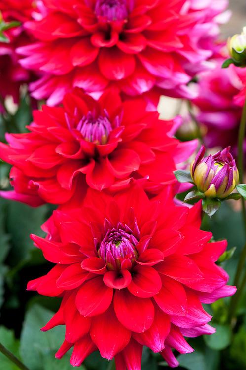 Dahlia 'Rojo', mid August.