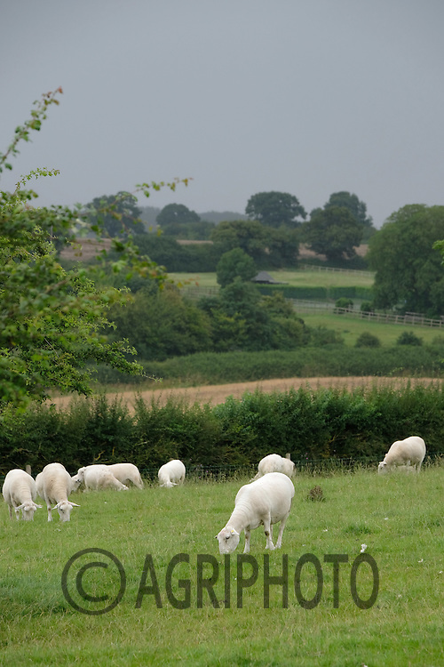 Easycare sheep grazing in parkland<br /> Picture Tim Scrivener 07850 303986<br /> ….covering agriculture in the UK….