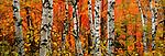 Paper birch (Betula papyrifera), Superior National Forest, Minnesota, USA