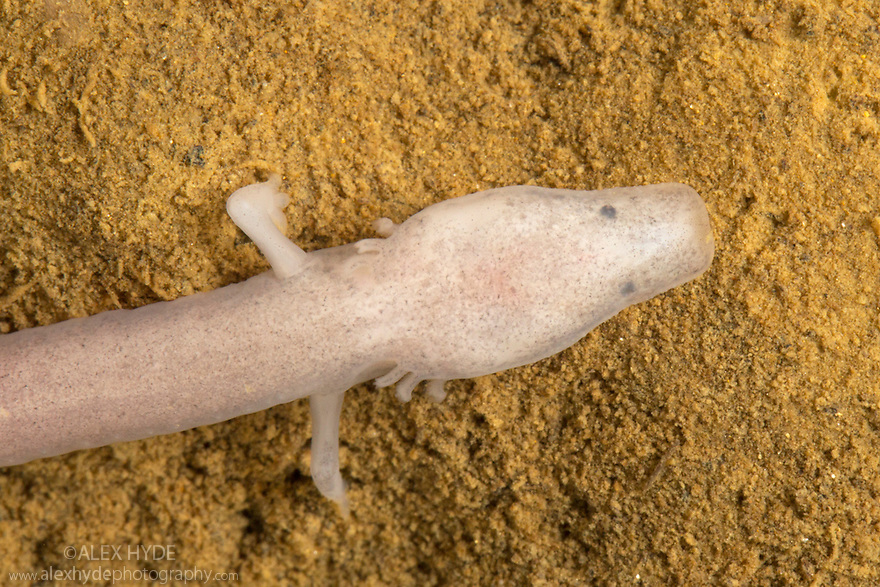 Olm {Proteus anguinus} juvenile. A species of aquatic salamander and a true troglobite (living only in caves). Highly adapted to the cave environment, Olms generally lack skin pigmentation and are blind, with atrophied eyes. Note that juveniles, as seen here, have more prominent eye spots and pigmentaion, both of which are likely to fade with age. The species has advanced senses of taste, touch and smell as well as being able to detect weak electrical fields, allowing them to navigate the cave environment and locate their prey. They exhibit neoteny, meaning they retain larval characteristics into adulthood such as gills. Captive, Slovenia.