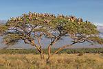 Kenya, Chyulu Hills National Park, white-backed vulture (Gyps africanus)