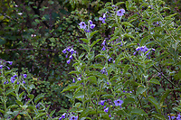Solanum wallacei - Catalina nightshade flowering in California native plant garden, Regional Parks Botanic Garden, Berkeley, California