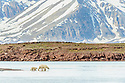 Female polar bear (Ursus maritimus) with young cub exploring shore line with no ice. Ice thawed possibly because of global warming / climate change. Woodfjorden, northern Spitsbergen, Svalbard, Arctic Norway.