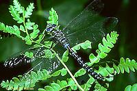1O06-012c  Dragonfly - adult