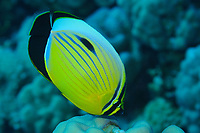 Exquisite butterflyfish, fish, latin name Chaetodon austriacus, off Safaga coast, Red Sea, Egypt,