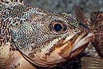 Blackbelly rosefish facing right, close-up