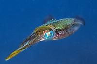 Caribbean reef squid, Sepioteuthis sepioidea, Dominica, Caribbean, Atlantic