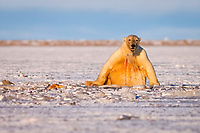 polar bear, Ursus maritimus, playing with a walrus flipper, Odobenus rosmarus, in slushy pack ice, 1002 coastal plain of the Arctic National Wildlife Refuge, Alaska, USA