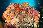 A dead table coral, now covered in healthy soft corals, taken at Neptune Fan Sea, Raja Ampat, West Papua,  Indonesia