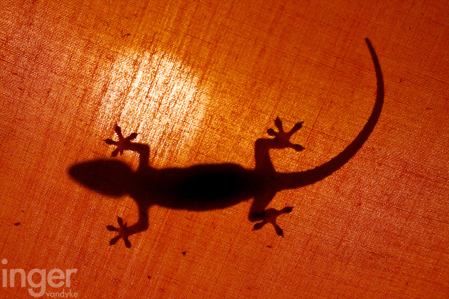 Gecko, Christmas Island, Indian Ocean