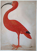 Red Ibis with an Egg - by Maria Sibylla Merian, 1699 - 1700