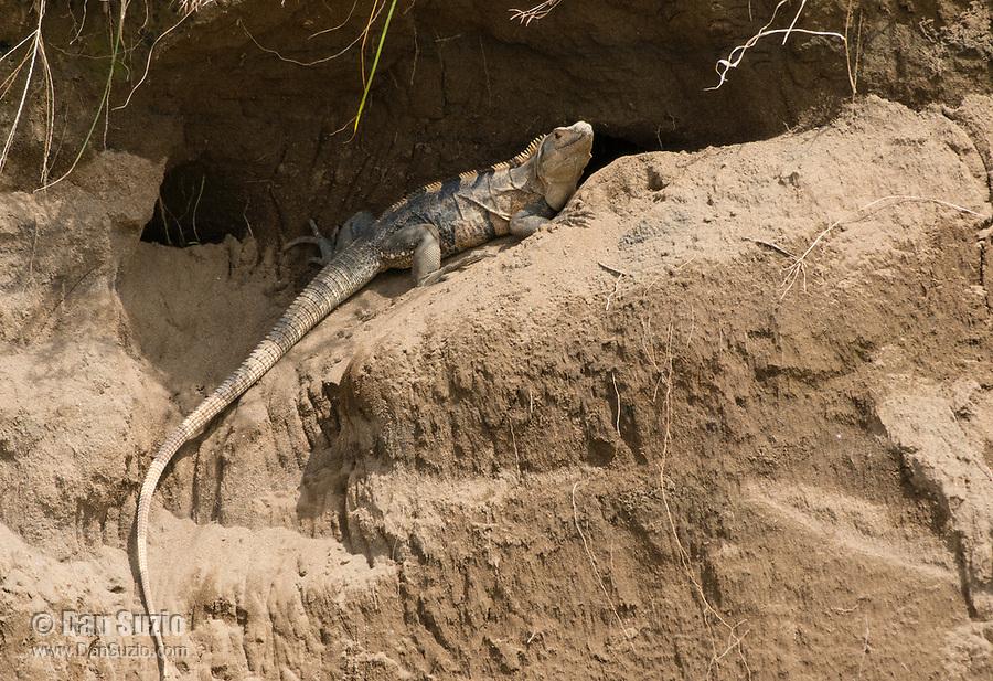 Black Iguana (Spiny-tailed Iguana), Ctenosaura similis, on the bank of the Tarcoles River, Costa Rica