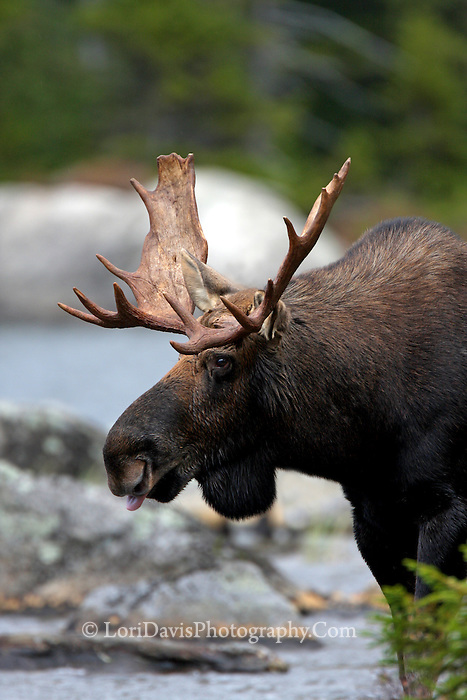 Bull Moose With Tongue Sticking Out