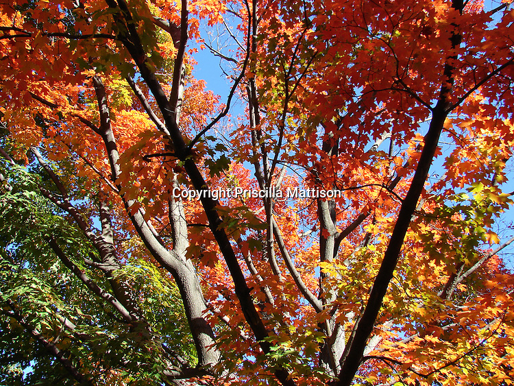 Autumn sun lights up orange, gold and green leaves in the treetops.