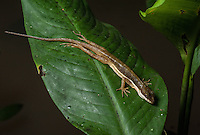 Stream Anole (Anolis Lionotus) - Siquirres Costa Rica.