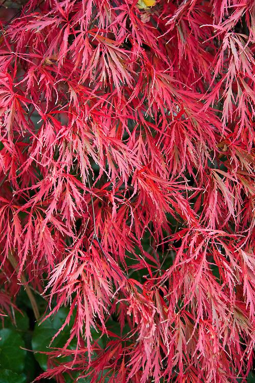 Acer palmatum var. dissectum (Dissectum Atropurpureum Group), early November.