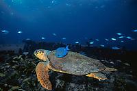 blue tang, Acanthurus coeruleus, feeds on algae growing on shell of loggerhead sea turtle, Caretta caretta, cleaning it for turtle, Bahamas, Caribbean Sea, Atlantic Ocean