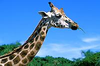 Animais. Mamiferos. Girafas (Giraffa camelopardalis). Zoológico. Foto de Juca Martins.