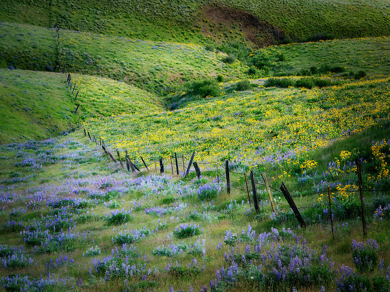 Fence line and wildflowers, balsamroot and lupine. Columbia Hills State Park, Washington
